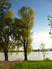 Weidenufer (Jrg Paul Kaspari) Tags: autumn tree fall herbst september bodensee baum abre 2015 radolfzell naturfreundehaus markelfingen silberweide salixalba