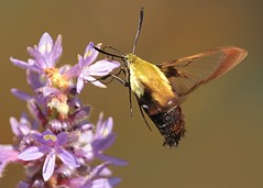 Hummingbird Moth (Clearwing) (hennessy.barb) Tags: hummingbirdmoth clearwing moth insect lakeconestee barbhennessy