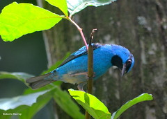 Sara-azul-turquesa (Dacnis cayana) - Blue Dacnis (Roberto Harrop) Tags: birds aves pssaros aldeia bluedacnis dacniscayana saraazulturquesa saras robertoharrop