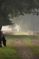 Edelherten Weerterbos (ToJoLa) Tags: oktober mist nature fog canon earlymorning natuur nat deer wee ochtend wandeling hert naturetrail boswachter 2015 najaar natuurgebied nederweert edelherten weerterbos canoneos60d daatjeshoeve brontstijd
