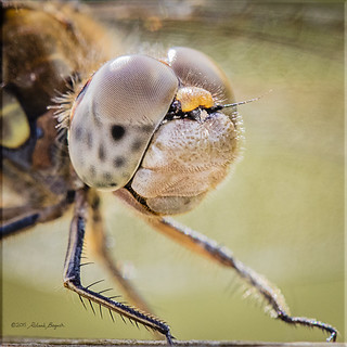 Look me in the eyes - Common Darter Dragonfly