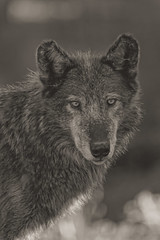 Zaltana (Cruzin Canines Photography) Tags: portrait blackandwhite nature animal animals closeup canon outside outdoors zoo daylight colorado wolf naturallight coloradosprings wildanimal wolves naturepreserve canoneos5dmarkiii coloradowolfandwildlifecenter