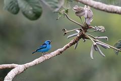 Blue Dacnis, Dacnis bleu,6176.jpg (Zoizeaux de Gabriel) Tags: panama bluedacnis dacnisbleu canopytower soberanianationalpark