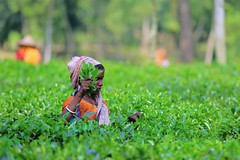 Tea plucking lady (Ferdousi.) Tags: woman green lady tea labor lifestyle teagarden sylhet srimongal dailylabor madhabpur landoftwoleavesandabud teapluckingwoman
