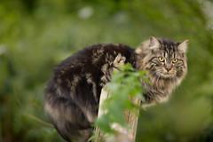 Lionel (minkylina) Tags: fall cat canon hope october kitty lionel dslr mybuddy 2015 m4h ilovebokeh 135mmf2 greenbokeh project52 kittybokeh 2015365 nofoliageyet