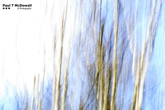 Oneness of Place IV (Paul T McDowell Photography) Tags: uk white canon season landscape spring unitedkingdom springhill bark northernireland birch nationaltrust icm betula 2015 canon500d canonef85mmf18usm colondonderry intentionalcameramovement paultmcdowellphotography hamalyan