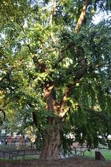 Ginkgo biloba, Sint-Jans-Molenbeek (Erf-goed.be) Tags: geotagged boom ginkgobiloba brussel archeonet sintjansmolenbeek japansenotenboom geo:lat=508545 muzenpark geo:lon=43166