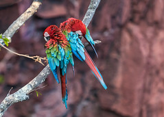 Synchronized grooming (tmeallen) Tags: red brazil green do branch pair cliffs grooming jardim bond das buraco mato sul grosso macaws araras mutual limestonecliffs arachloropterus