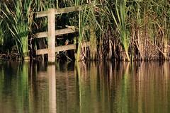 Watching & waiting (robin denton) Tags: northcavewetlands yorkshirewildlifetrust wildlifetrust ywt nature bird waterbird yorkshire wildlife kingfisher