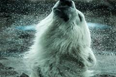 235/365 (Gene1138) Tags: bear canon bears polarbear louisville 365 louisvilleky louisvillezoo canon70d canon28300mmeff3556l