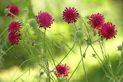 Field Scabious (Mah Nava) Tags: summer sommer knautia scabious fieldscabious wiesenblume witwenblume knautie knopfblume lokischmidtgarten