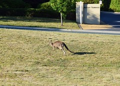 Kangaroo and joey on the hop in suburban Canberra (AndyBrii) Tags: australia canberra banks conder