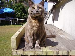 Josie wants to know... (Matilda&Charlie&Josie ~ MCJ) Tags: josie 9yo rescuecatgreybluecreamtortoiseshell