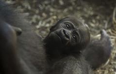 Gorillababy Vutu (Easy_FFM) Tags: gorilla zwilling menschenaffe gorillababy zoofrankfurt vutu