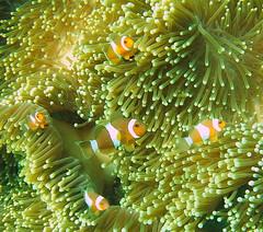 Clownfish (chew hon keong) Tags: fish scuba diving clownfish anemone seaanemone kohlipe
