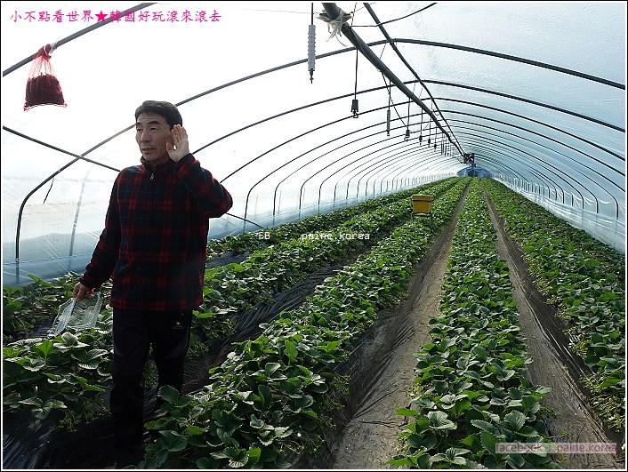 草莓園採草莓 (6).JPG