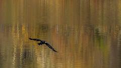 Grand Cormoran (Phalacrocorax carbo) (yann.dimauro) Tags: france fr rhnealpes vaulxenvelin