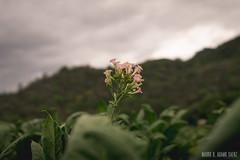 up (MauroAdamoSaenz) Tags: flower flor tabaco 50mm18 canont3
