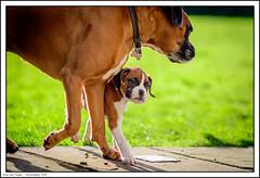 Roxy and Twiggy (ShawWellPete) Tags: dog animals boxer roxy twiggy