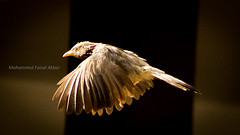 Sparrow Rush (faizalakbar) Tags: india bird canon eos fly wings flight wing fast sparrow shutter madurai tamil highspeed faizal 550d