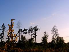 The Lodge - Sandy (May 2015) (herbman101) Tags: nature photo uk england bedfordshire sandy naturereserve birdreserve rspb thelodge tree trees broom heathland silhouette