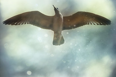 Soar (Rosemary Danielis) Tags: bird seagull animal nature outdoor sky flying fantasy bokeh clouds