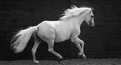 Helen Burgess bw (marylouiseshoemaker) Tags: horse horses stallion blackandwhite