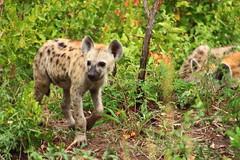 Hyena pup (chanel.mason_sa) Tags: hyena africa hyenapup curious