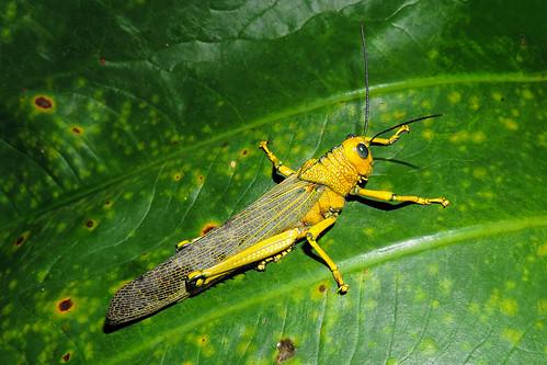San Ignacio - Unidentifed Grashopper