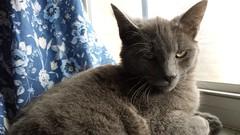 2015- Mowgli 01 (teresamarkos) Tags: mowgli cat cats kitten kittens felines feline