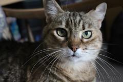 Dafne, la... nonnina di casa (Franco Serreli) Tags: sardegna dafne casa gatti mici gatto animali selargius animalidomestici micio