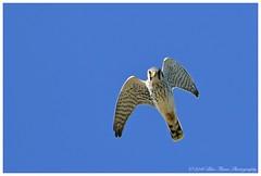 American Kestrel  (Rodolfo Quinio) Tags: americankestrel nikond500 capemaymigratorybirdrefugemeadows capemaynj capemaycounty raptor falcon birdofprey bird nature wildlife