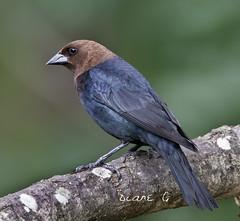 Male Cowbird (Diane G. Zooms---Mostly Off) Tags: cowbird malecowbird birds dianegiurcophotography wildbirds cowbirdphotos coth