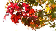 Autumn Leaves (Emil de Jong - Kijklens) Tags: herfst fall autumn leaf blad bladeren rood groen red rouge tree foliage explore