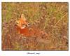 Renard roux / Red Fox  153A8543 (salmo52) Tags: salmo52 alaincharette faune animal pointetaylor newrichmond renardroux redfox vulpesvulpes