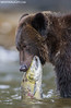 Grizzly Bear with Salmon (Max Waugh Photography) Tags: grizzlybear ursusarctoshorriblis britishcolumbia canada greatbearrainforest northamerica pacificnorthwest animal brown mammal nature predator wildlife wading water swimming salmon fish food feeding hungry foraging carcass greatbear16 maxwaugh topf25