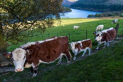 Passing by. (bainebiker) Tags: cattle livestock cows field valley lake canonef24mmf14liiusm landscape elanvalley powys wales