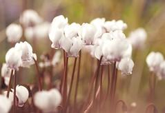 Cyclamen (Bakelaar en Waardenburg) Tags: bakelaarenwaardenburg bloemen bloemenfotografie fotografie flowerphotography flowers flower floral photography colour color cyclaam cyclamen white whiteflower season autumn tuin tuinfotografie tuinen macro nikon