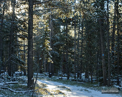 Sparkling Snow Dust (kevin-palmer) Tags: bighornmountains bighornnationalforest dayton sibleylake wyoming fall autumn october cold snow snowy fresh snowfall frost frosty early morning nikond750 tamron2470mmf28 pine trees sunshine sunny nordictrail