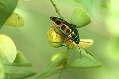 IMG_0614 Calidea sp. (Raiwen) Tags: rainbowshieldbug calidea scutelleridae pentatomoidae heteroptera hemiptera insects bugs africa westafrica guinea moyenneguinée