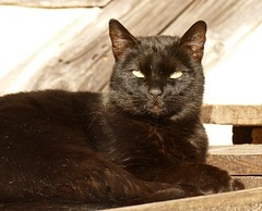 The Boss (evakatharina12) Tags: cc100 freilichtmuseum badwindsheim cat kitty black face eyes panasonic fz1000 germany bavaria franconia outdoor pet animal