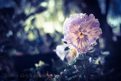 Fuji x-t10 pentacon (Jasrmcf) Tags: fuji fujinon fujifilm fujixt10 fujimacro macro dof depthoffield bokeh bokehlicious bokehgraph garden nature smooth blur purple pentacon 30mm flowers flower dreamy