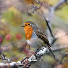 The Voice (Gringer1) Tags: erithacusrubecula robin