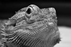 Lizard (shanejonesppc2014) Tags: blackandwhite lizard macro closeup 550d canon animals