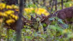 ThatTimeOfYear (jmishefske) Tags: wehr october nikon nature d500 center whitnall 2016 franklin antler wildlife sparring rack wisconsin fighting rut park whitetail buck deer milwaukee