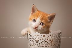 Tender (Malia Len ) Tags: cat kitten kitty little animal pet gatito gato misi malialeon gatita gata studio macetero pot flowerpot