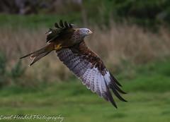 Red Kite (Milvus milvus) (hunt.keith27) Tags: purple kite red feather gigrin feeding talon beautyiful wales wild frenzy