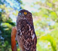 Brown Fish Owl (I Nair) Tags: brownfishowl bubozeylonensis ketupazeylonensis bird