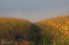 Dor par le soleil du matin. / Corn in october's sunrise. (Pentax_clic) Tags: imgp7299 pentax kr mais soleil octobre 2016 robert warren vaudreuil quebec