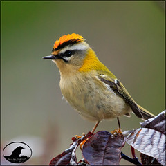 Reyezuelo listado (Jose A Amado Hidalgo) Tags: reyezuelolistado regulusignicapillus passeriformes silvidos sylviidae